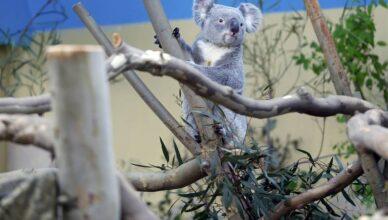 Klamidija desetkuje koale u Australiji: Znanstvenici spas traže u testiranju cjepiva